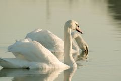 Swans in the rays of the rising sun royalty free stock image