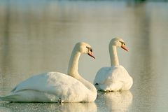Swans in the rays of the setting sun Stock Photography