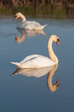 Swans reflected in water Royalty Free Stock Images