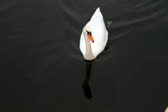 Swans reflecting swans Royalty Free Stock Images