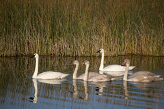 Swans with Reflection Royalty Free Stock Photos