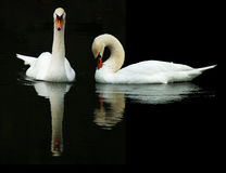 Swans Reflections Royalty Free Stock Image