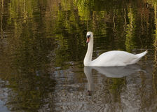 Swans and Reflections. The Grand Union Canal in London is a green space that gives local wild life a refuge from the surrounding urban congestion Royalty Free Stock Photo