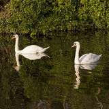 Swans and Reflections. The Grand Union Canal in London is a green space that gives local wild life a refuge from the surrounding urban congestion Stock Images