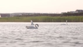 Swans relaxes in the lake stock footage