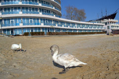Swans at resort beach,Bulgaria Stock Images