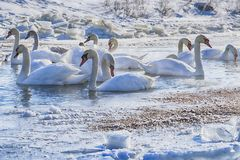 Swans. Resting on a fragment of an unfrozen river surrounded by snow and ice in a winter landscape Royalty Free Stock Photography