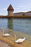 Swans in Reuss River, Luzern stock photography