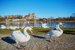 Swans on the Rhine bank with Breisach castle in the background Royalty Free Stock Photo