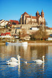 Swans on the Rhine bank with Breisach castle in the background Stock Photo