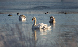 Swans in Richmond Park. Early December, London Royalty Free Stock Photo