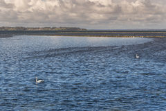 Swans on the rippled surface of the sea Stock Photography