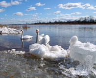 Swans on the river Royalty Free Stock Photography