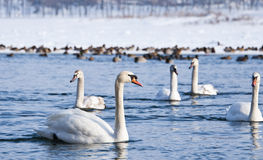 Swans on the river Stock Photography