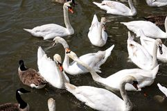 Swans on River Avon, Stratford-upon-Avon. Stock Photo