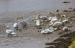 Swans on the River Bank Stock Photography