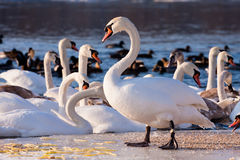 Swans on the river in cloudy winter day Stock Photo