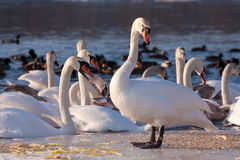 Swans on the river in cloudy winter day Royalty Free Stock Photo