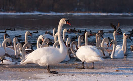 Swans on the river in cloudy winter day Stock Photography
