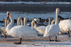Swans on the river in cloudy winter day Stock Photos