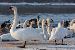 Swans on the river in cloudy winter day Royalty Free Stock Images