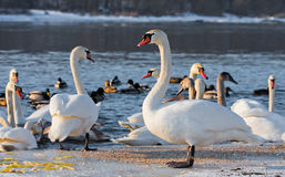 Swans on the river in cloudy winter day Stock Images