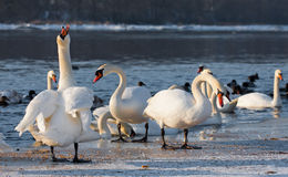 Swans on the river in cloudy winter day Stock Image