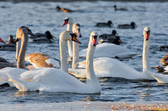 Swans on the river in cloudy winter day Royalty Free Stock Photos