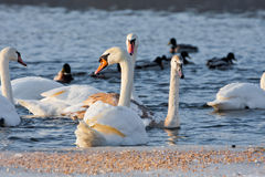 Swans on the river in cloudy winter day Royalty Free Stock Image