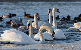 Swans on the river in cloudy winter day Royalty Free Stock Photography