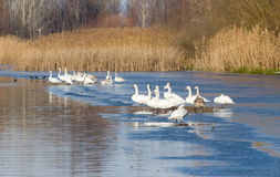 Swans on the river coast Stock Image