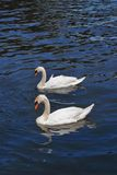 The swans in the river. Couple of swans in the river Stock Image