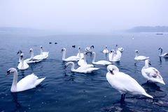 Swans on the river Danube Royalty Free Stock Photo