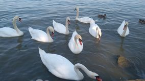 Swans on the river Danube stock images
