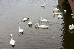 Swans in river Exe, Exeter Royalty Free Stock Photo