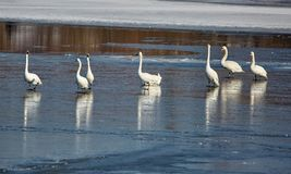 Swans on a river. Swans on a frozen river in a clear winter day Royalty Free Stock Image