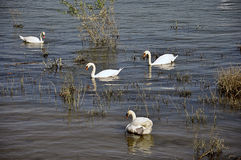 Swans in the river Royalty Free Stock Images