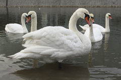 Swans in a river Stock Images