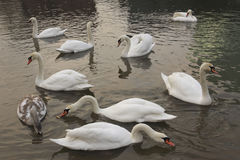 Swans in a river Stock Photos
