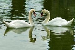 Swans in the river Stock Images
