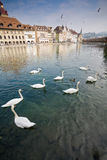 Swans in river with in Luzern Stock Photos