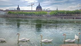 The swans and the river rhône of the city of Lyon, France Royalty Free Stock Images