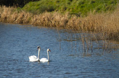 Swans on the river in Somerset. Swans swimming on the River Axe in Somerset England Royalty Free Stock Images