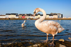 Swans on the river in spring Royalty Free Stock Photo