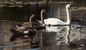 Swans on the river. Swans swimming on the river Stock Photo
