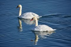 Swans on a river. Swans swimming on a river in a clear day Royalty Free Stock Images