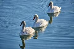 Swans on a river. Swans swimming on a river in a clear day Royalty Free Stock Photography
