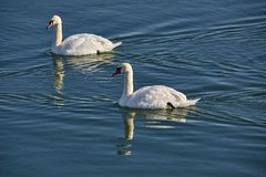 Swans on a river. Swans swimming on a river in a clear day Stock Images