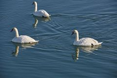 Swans on a river. Swans swimming on a river in a clear day Royalty Free Stock Photos