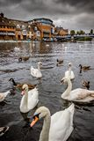 Swans in river Thames in city of Windsor royalty free stock image